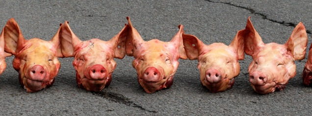 pigs-head-on-road