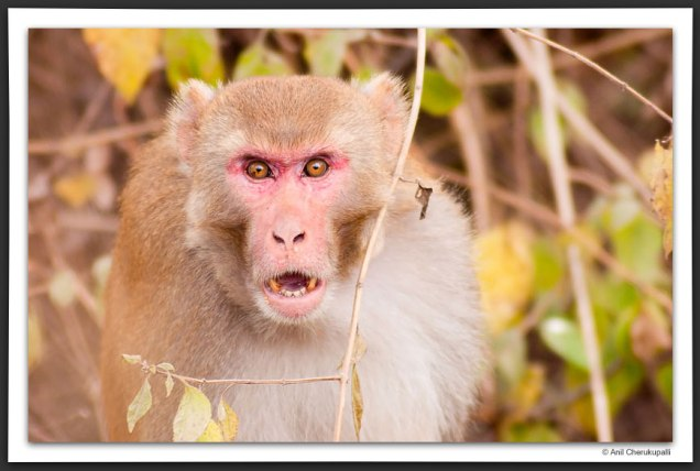 20090208153114_rhesus-aggression